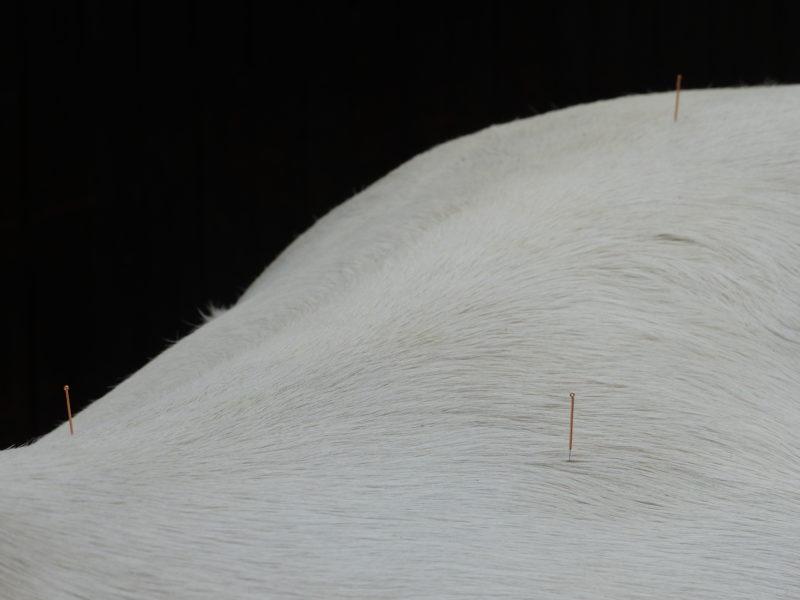 ganzheitliche Pferdebehandlung- TCM-Akupunktur
