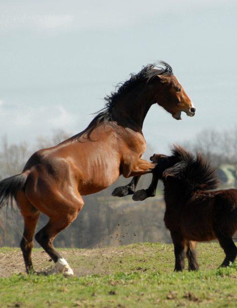 Pferde toben und ziehen sich Pferdekrankheiten zu